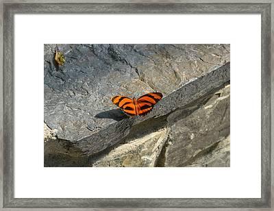 Orange Black Striped Butterfly  Framed Print