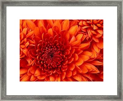 Orange Bloom Framed Print