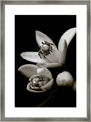Orange Blossoms Framed Print by Frank Tschakert