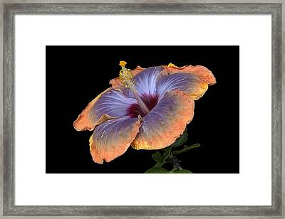Framed Print featuring the photograph Orange-blue Hibiscus by Ken Barrett