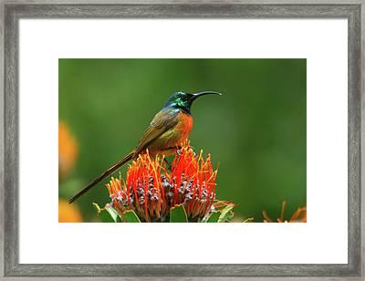 Orange-breasted Sunbird On Protea Blossom Framed Print
