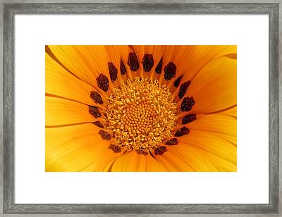 Orange Burst - Daisy Framed Print