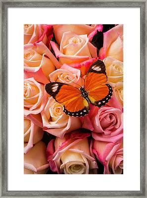 Orange Butterfly On Pink Roses Framed Print