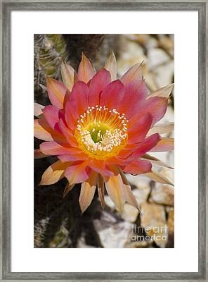 Orange Cactus Flower Framed Print