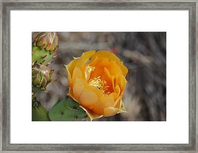 Orange Cactus Flower Framed Print by Jon Rossiter