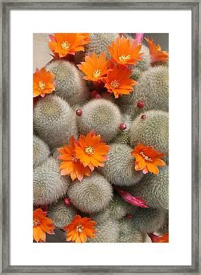 Orange Cactus Flowers Framed Print by Mark Barclay