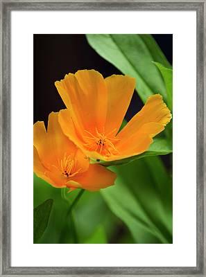 Orange California Poppies Framed Print by Christina Rollo