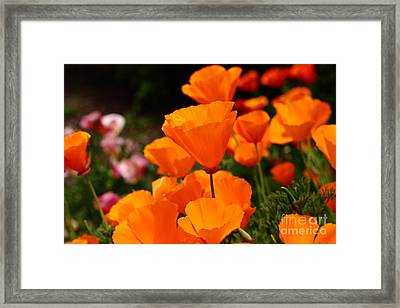 Orange California Poppy . 7d14755 Framed Print by Wingsdomain Art and Photography