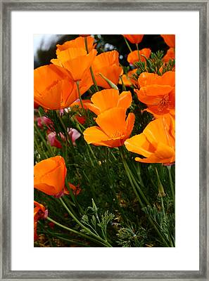 Orange California Poppy . 7d14756 Framed Print by Wingsdomain Art and Photography
