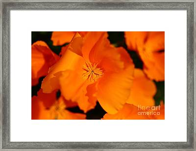 Orange California Poppy . 7d14794 Framed Print by Wingsdomain Art and Photography