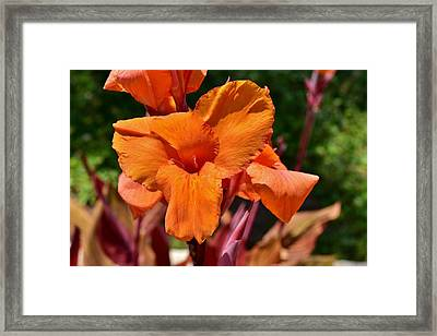 Orange Canna Lily Closeup Framed Print by Linda Brody