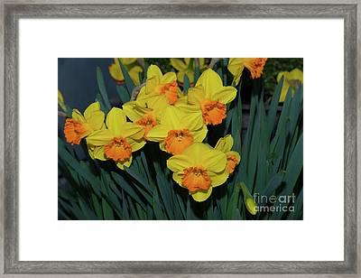 Orange-centered Daffodils Framed Print