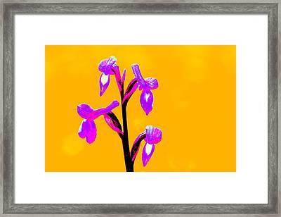 Orange Champagne Orchid Framed Print