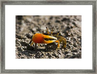 Orange-clawed Fiddler Crab Framed Print
