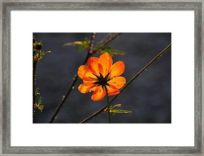 Orange Cosmo Framed Print