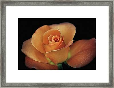 Orange Cream Framed Print