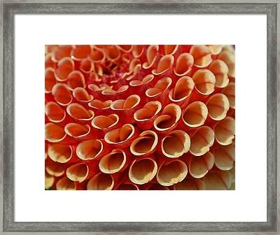 Orange Dahlia Crush Framed Print