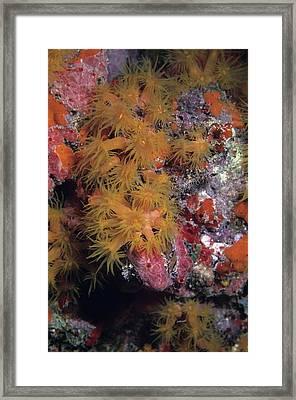 Orange Cup Coral And Sponges Framed Print by Don Kreuter