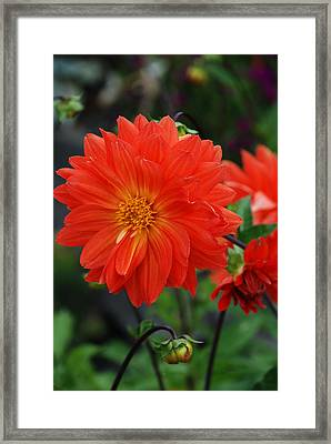 Orange Dahlia Framed Print