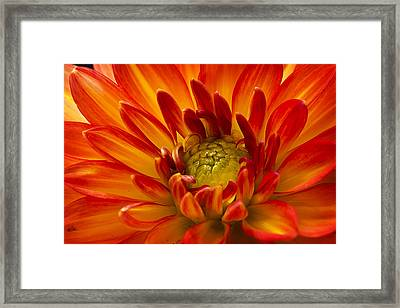Orange Dahlia Framed Print