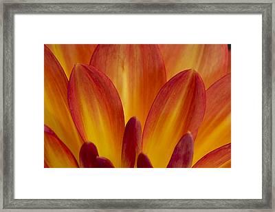 Orange Dahlia Petals Framed Print