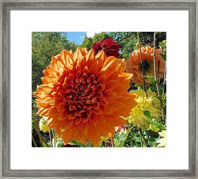 Orange Dahlia Suncrush  Framed Print