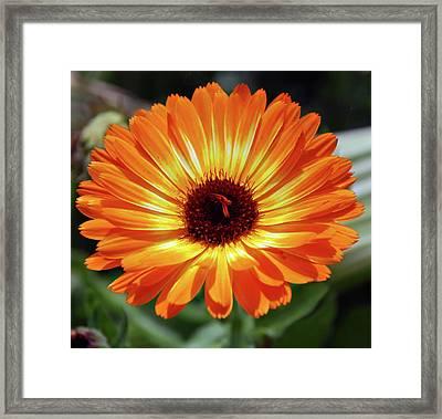 Orange Daisy Delight Framed Print