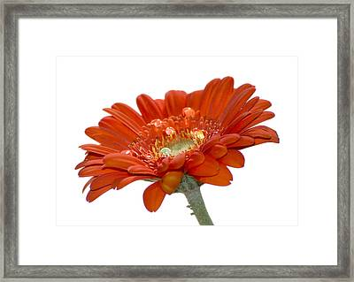 Orange Daisy Gerbera Flower Framed Print by Pixie Copley