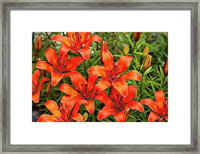 Framed Print featuring the photograph Orange Day Lillies by Mary Jo Allen