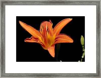 Orange Day-lily Framed Print