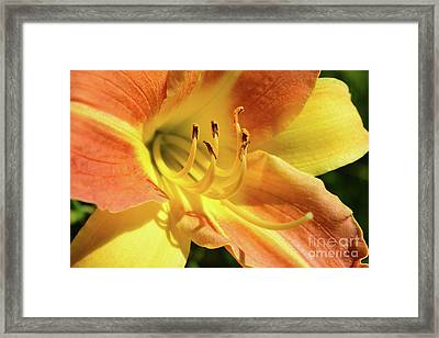 Orange Daylily Close Up Framed Print