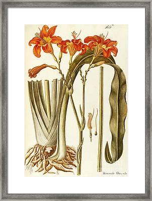 Orange Daylily Framed Print by Giovanni Antonio Bottione