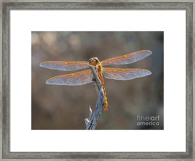 Dragonfly 3 Framed Print