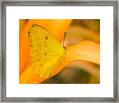 Orange Emigrant Butterfly Framed Print