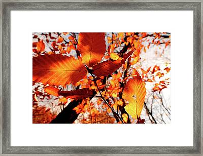 Orange Fall Leaves Framed Print