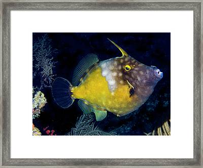 Orange Filefish Framed Print by Jean Noren