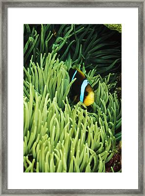 Orange-fin Anemone Fish, Amphiprion Framed Print by James Forte
