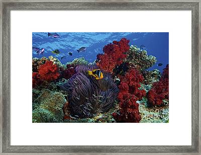 Orange-finned Clownfish And Soft Corals Framed Print