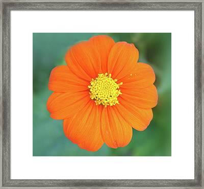 Orange Flower Framed Print by Art Spectrum