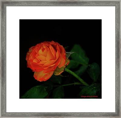 Orange Flower Framed Print by Chaza Abou El Khair