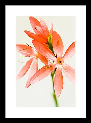 Kaffir Lily Framed Prints