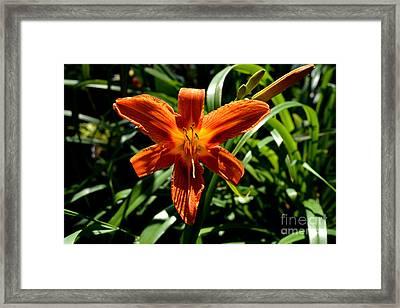 Orange Flower Of Summer Framed Print by Reva Steenbergen