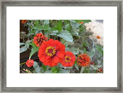 Orange Flowers Framed Print by Amy Lucid