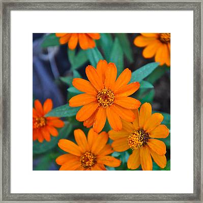 Orange Flowers Framed Print by Lori Kesten