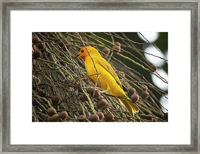 Orange Fronted Yellow Finch Panaca Quimbaya Colombia Framed Print