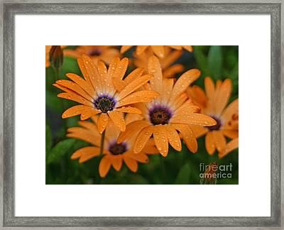 Orange Gazania Framed Print