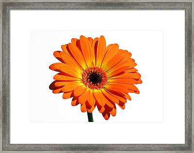 Orange Gerber Daisy Perfection Framed Print by Juergen Roth