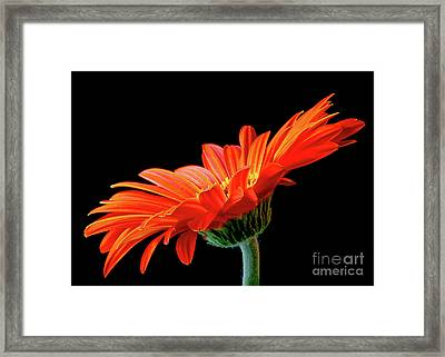 Orange Gerbera On Black Framed Print