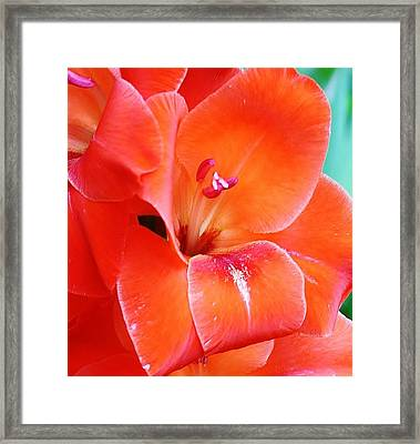 Orange Gladiola Framed Print