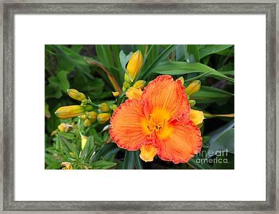 Orange Gladiola Flower And Buds Framed Print by Corey Ford